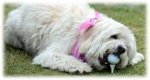 dog golf